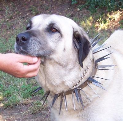 dog spike collars just for the hard boys the three dog blog collars for dogs 400x394